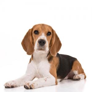 Image of beagle dog
