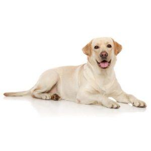 Image of yellow labrador