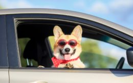 corgi in the passenger side of a car