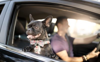 Dog in car with owner