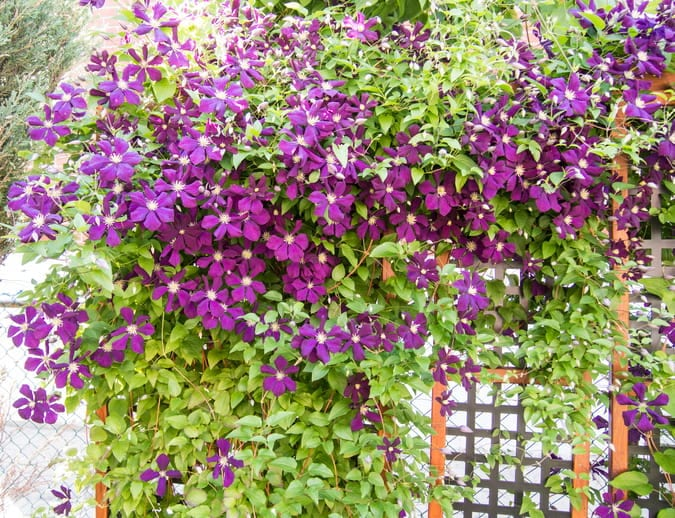 clematis on a fence in bloom
