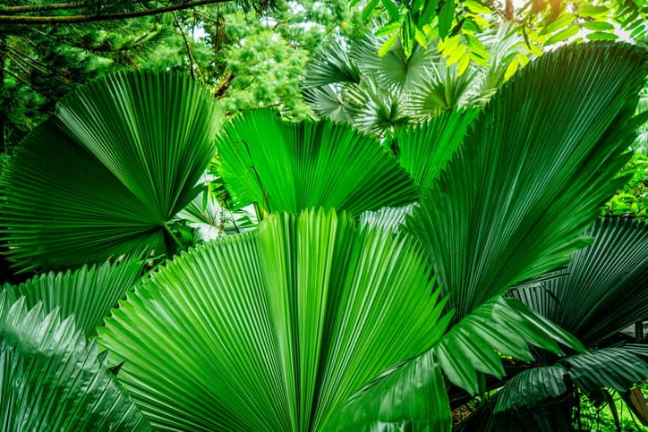 fan palms planted in the yard