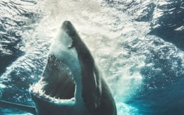 photo of Great White Shark in water