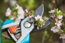 clippers pruning bushes