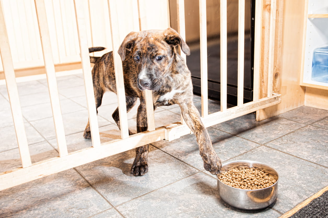 a puppy behind a gate trying to pull a bowl of food closer with her paw