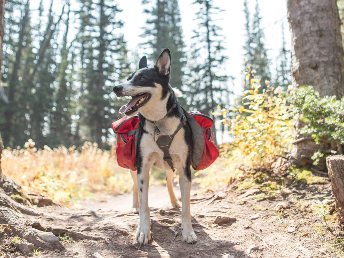 dog wearing safety gear on hiking trail