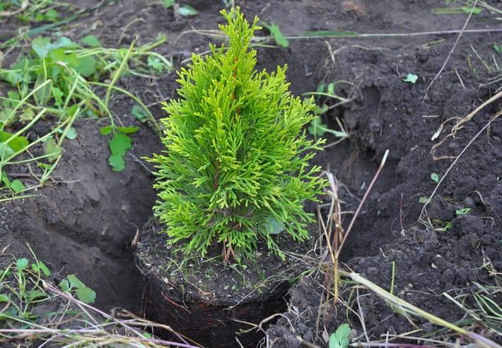 planting a cypress shrub in the yard